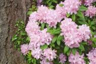 Pięknie kwitnące różaneczniki dla właściwego wzrostu potrzebują odpowiedniej pielęgnacji. Nie można pozostawić ich samym sobie w ogrodzie, bo szybko stracą swe walory ozdobne. Rododendron Fot. Fotolia